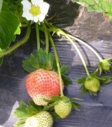 草莓花图片