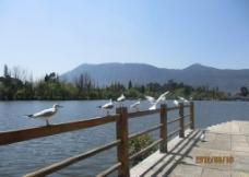 云贵高原的海鸥图片