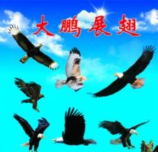 大鹏展翅图片