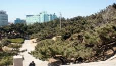 青岛八大关的松树图片
