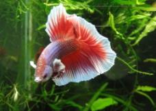 半月紅斗魚圖片