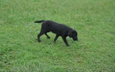 小黑狗图片