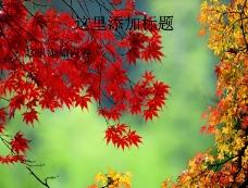 美丽枫叶精美(2)