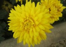 菊花绽放图片