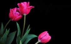 阿娜多姿的郁金香图片