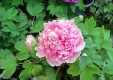 粉牡丹图片