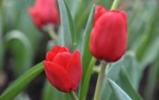 春天的郁金香图片