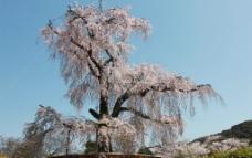 樱花季图片