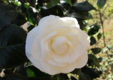白色茶花图片
