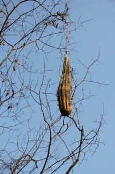吊在树上的丝瓜图片