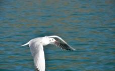 西昌泸沽湖的海鸥图片