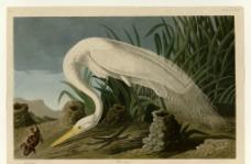 白苍鹭图片