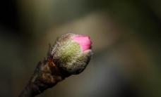 春天蓓蕾图片