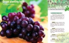 葡萄种植基地图片