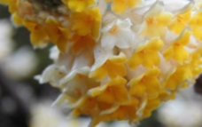 黄色的花 黄色的花 结香图片