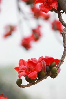 红面桃花盛开图片