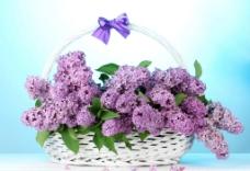 紫丁香 丁香花图片