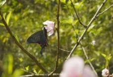 蝴蝶与桃花图片