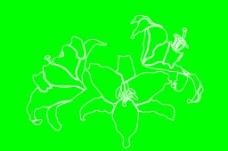百合花 矢量图图片
