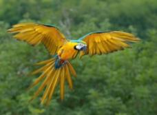 蓝黄金刚鹦鹉图片