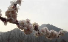 早晨的桃花图片