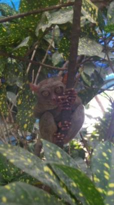 菲律宾眼镜猴图片