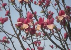 红色茶花树图片