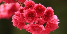 红色的春天花朵图片