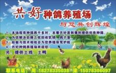种鸽养殖场图片