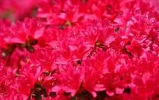 杜鹃 鲜花图片