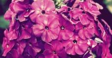 茂盛的紫色花图片