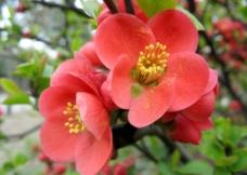 海棠花开图片