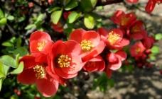i海棠花开图片