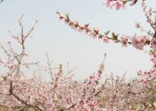 桃花树多少钱一棵