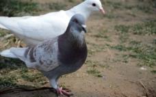 漂亮鸽子图片
