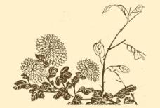芥子园画谱 菊花图片