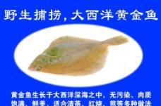 黄金鱼图片