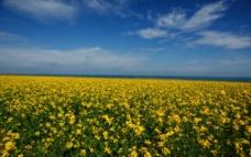 青海的油菜花图片
